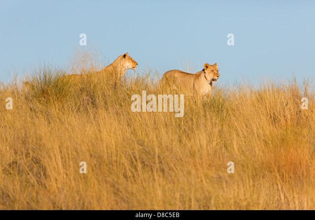 Twon lions (Panthera leo), Dunes Near Twee Rivieren, South Africa - Stock Image