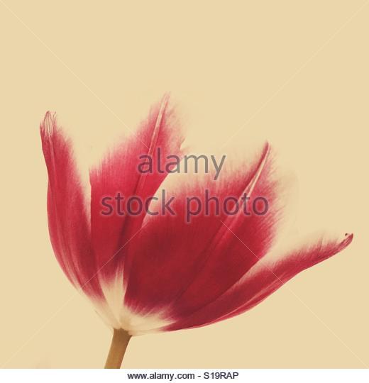 Tulip - Stock-Bilder