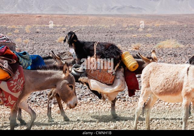 Donkeys of nomads carrying goods and a goat through stony desert, Sahara desert, Morocco. - Stock Image