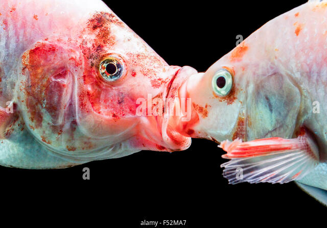 French kiss stock photos french kiss stock images alamy for Is tilapia a man made fish