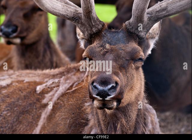 Buck deer, Alaska - Stock Image