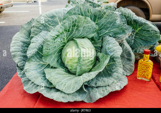 A giant freshly picked cabbage plant for sale at a local community farmer's market in Montgomery, Alabama, USA. - Stock Image