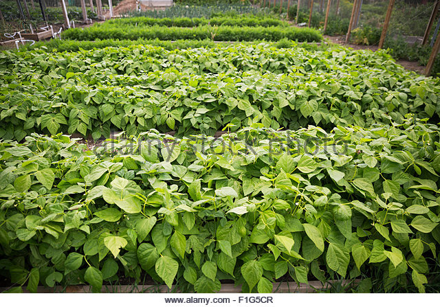 Plants growing in rows in garden - Stock Image