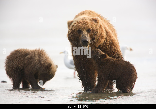 A Grizzly Bear sow with cubs Lake Clark National Park Alaska - Stock Image