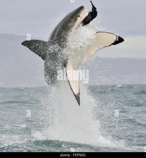 Great White Shark (Carcharodon carcharias) breaching in an attack. - Stock Image