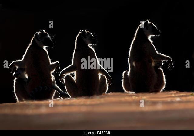 Three Ring-tailed Lemurs (Lemur catta) sun basking at dawn. Berenty Private Reserve, southern Madagascar. (digitally - Stock Image