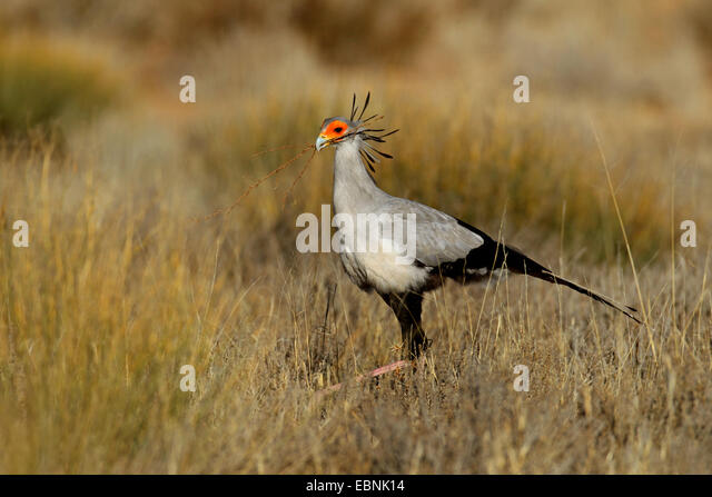 secretary bird, Sagittarius serpentarius (Sagittarius serpentarius), walking through grassland and looks for nesting - Stock Image