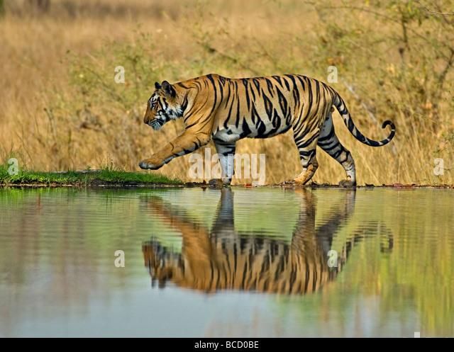 BENGAL TIGER (Panthera tigris tigris) male on lake. Bandhavgarh. India - Stock-Bilder