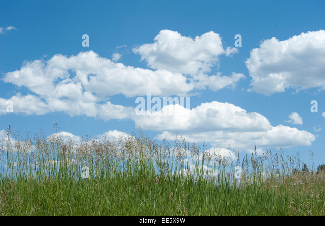 Cumulus clouds in clear blue sky with grass in foreground - Stock Image
