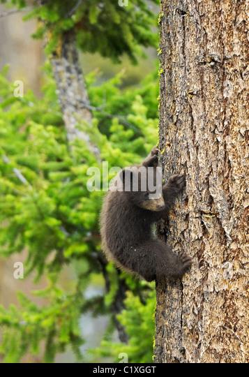 Tiny Cinnamon Black Bear - Stock Image
