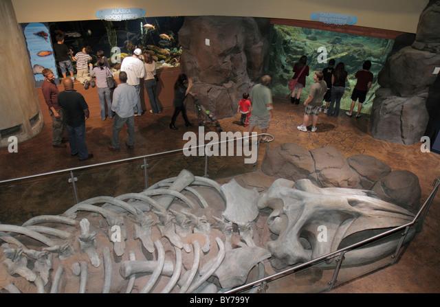 Atlanta Georgia Pemberton Place Georgia Aquarium habitat marine life Cold Water Quest exhibit fossil bones Alaska - Stock Image