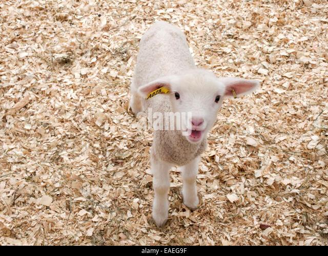 baby lamb bahing - Stock Image