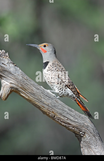 Northern Flicker  Adult Male - Stock Image