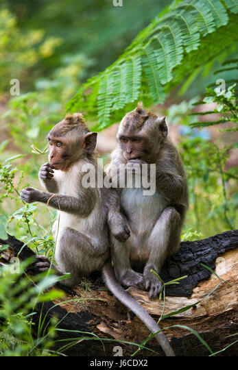 Two macaque sitting on a tree. Indonesia. The island of Bali. An excellent illustration. - Stock Image