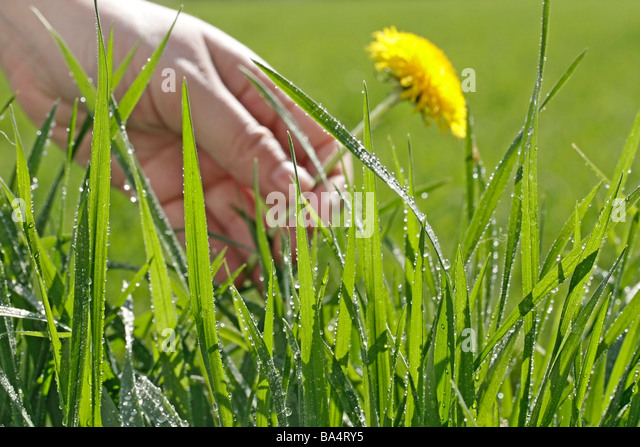 Grass and dew. Dandelion (Taraxacum officinale) - Stock Image