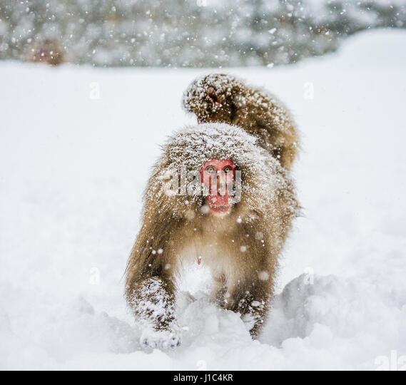 Mom Japanese macaque with a baby on her back goes to the hot spring in the deep snow. Japan. Nagano. Jigokudani - Stock Image