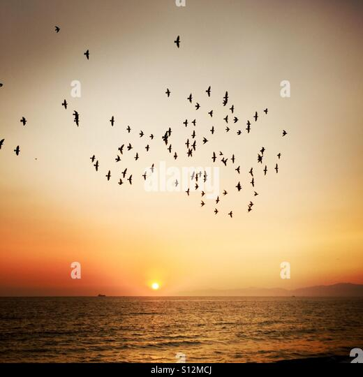 Sunset at the beach with a lot of birds flying. Manhattan Beach , California USA. - Stock Image