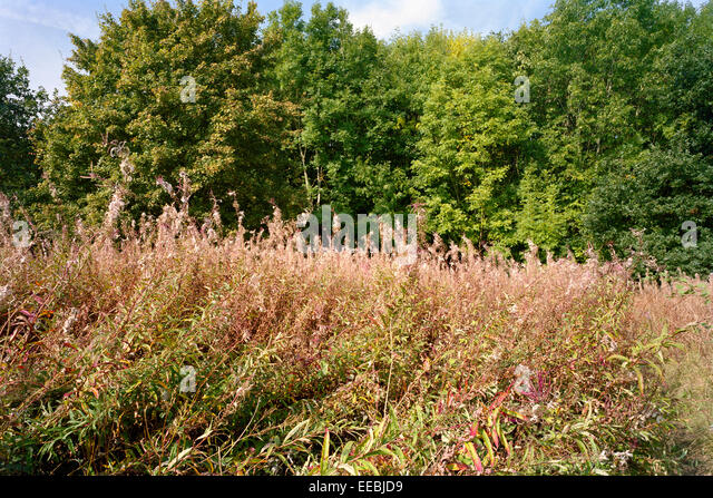 Seed heads of rosebay willowherb in Cambridgeshire - Stock Image