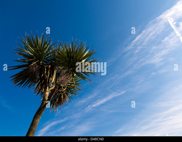 Palm tree, blue sky and high cloud on the beach at Brighton, East Sussex, UK - Stock Image