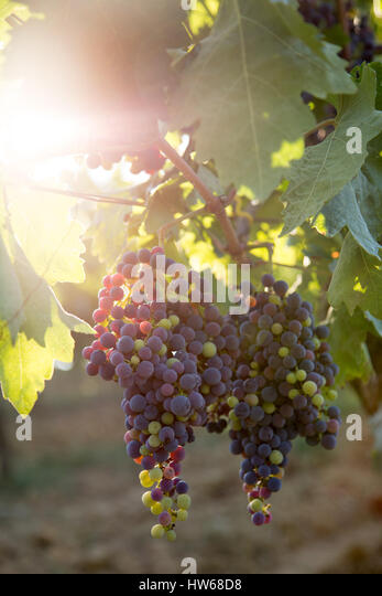 Grapes - Stock Image