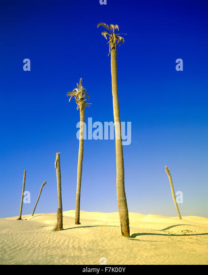 Dead Palm trees at The Great Dune. The Sahara Desert. At the edges of the small town of Douz. Nefzaoua region, Southern - Stock Image