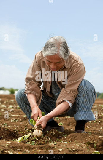 Senior man harvesting turnip - Stock Image