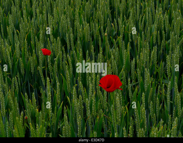 Poppies in a cornfield in a valley of the South Downs, Sussex, England, UK - Stock Image