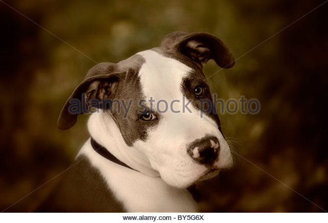 PItbull Portrait - Stock Image