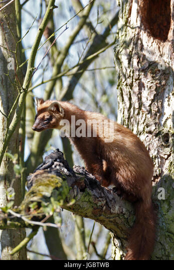 European pine marten (Martes martes), male sitting on a branch, marking territorial boundaries, natural park river - Stock Image