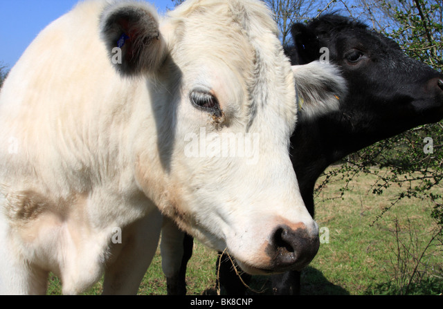 Cattle on a U.K. farm. - Stock Image