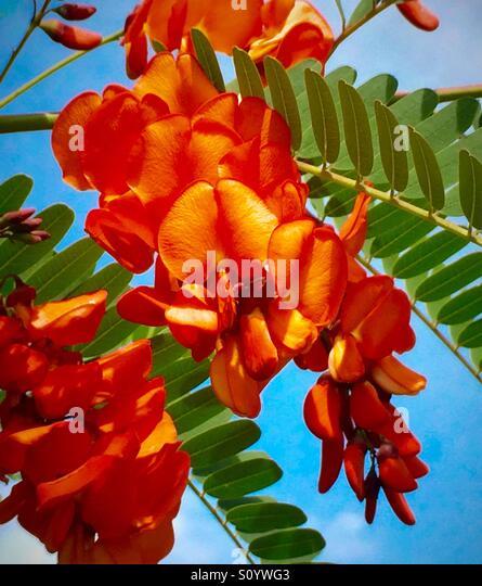 Spanish Gold plant with intense orange blooms, Sesbania punicea - Stock Image