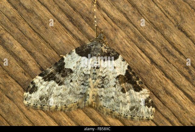 Garden Carpet Moth Stock Photos amp
