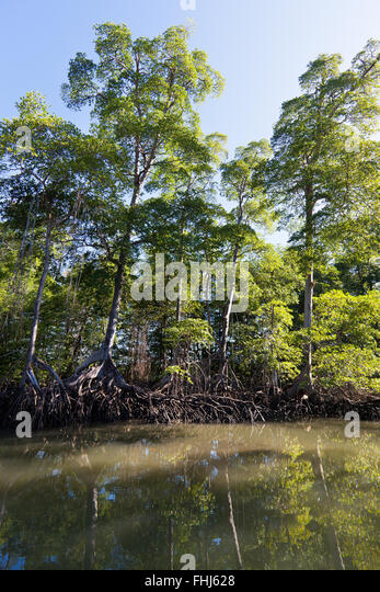 Mangrove forest surrounding a river in Golfo de Montijo, Pacific coast, Veraguas province, Republic of Panama. - Stock-Bilder