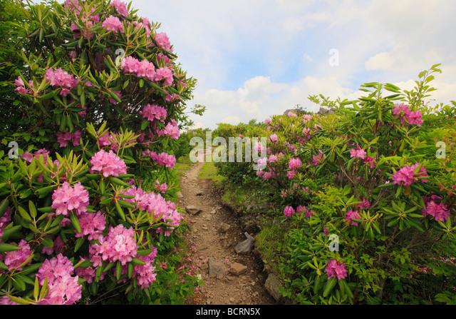 rhododendron-along-appalachian-trail-gra