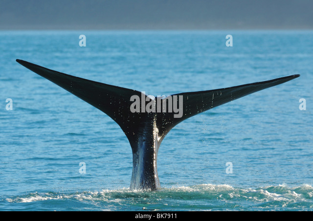 Sperm Whale (physeter macrocephalus) showing its flukes as it dives at Kaikoura, New Zealand - Stock Image