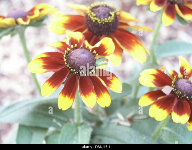 Yellow and brown flowers. - Stock Image
