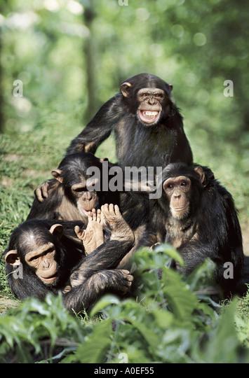 Chimpanzee group playing - Stock-Bilder