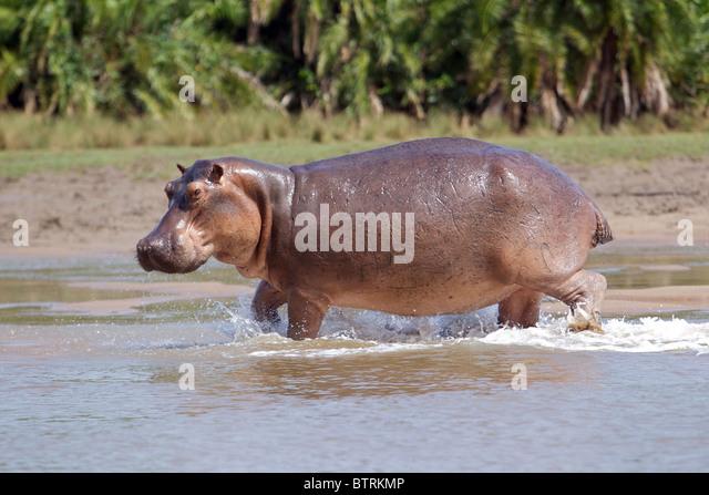 HIPPOPOTAMUS ( Hippopotamus Ampibius ) Saadani National Park Tanzania - Stock-Bilder