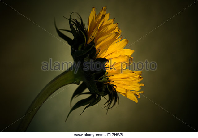 Sunflower on mossy green background, studio shot. - Stock Image