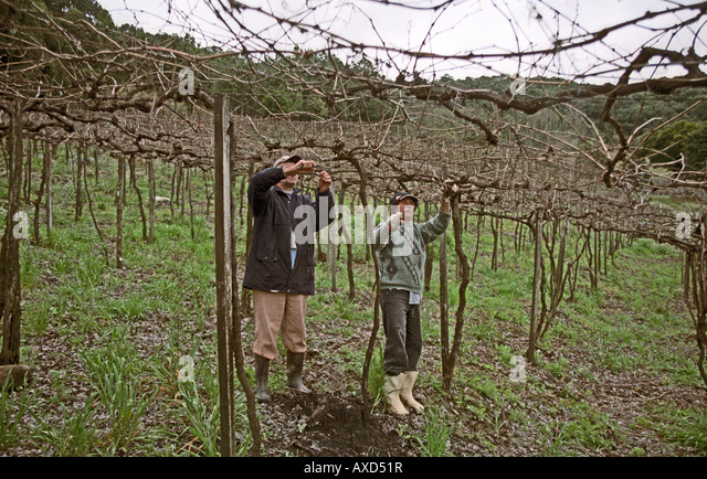 Pruning. Pergola trained vines at Mioranza Winery, Forels da Cunha, Brazil - Stock Image