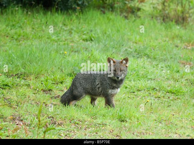 Darwin's Fox (Pseudalopex fulvipes) ENDANGERED, Wild, Chiloe Island, CHILE - Stock Image