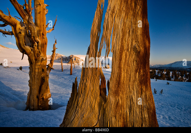 Foxtail Pines, Sierra Nevada Mountains, Sequoia National Park - Stock Image