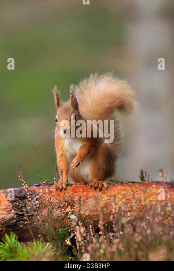 Red Squirrel in winter coat - Stock Image