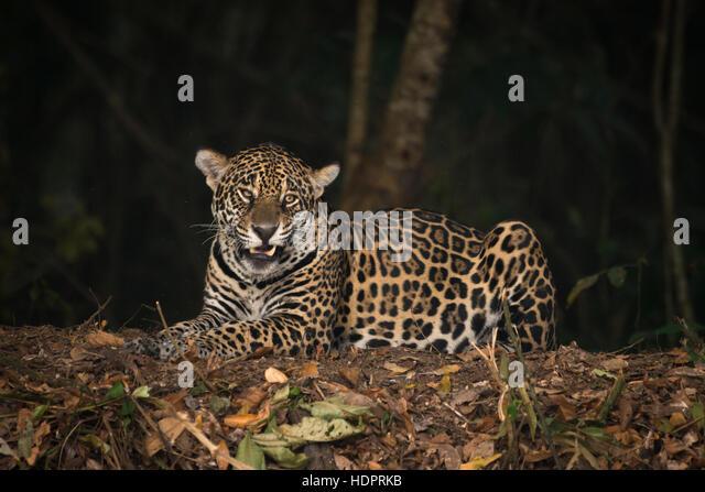 A Jaguar from North Pantanal - Stock Image
