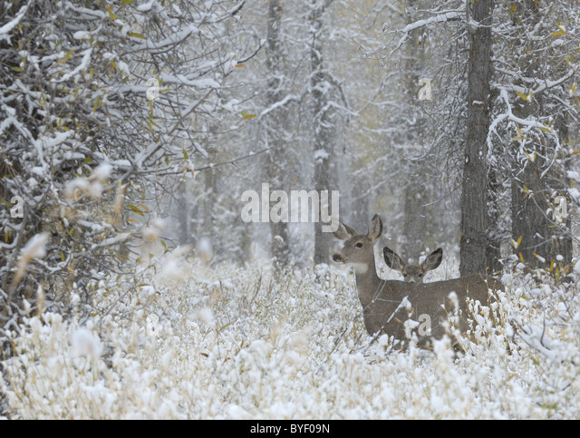Mother deer and baby in winter magic setting. - Stock Image