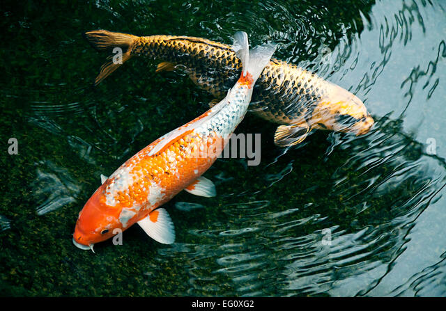 Japanese fishes stock photos japanese fishes stock for Ornamental fish garden ponds