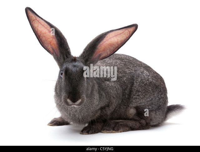 Rabbit farm animal closeup on white background - Stock Image