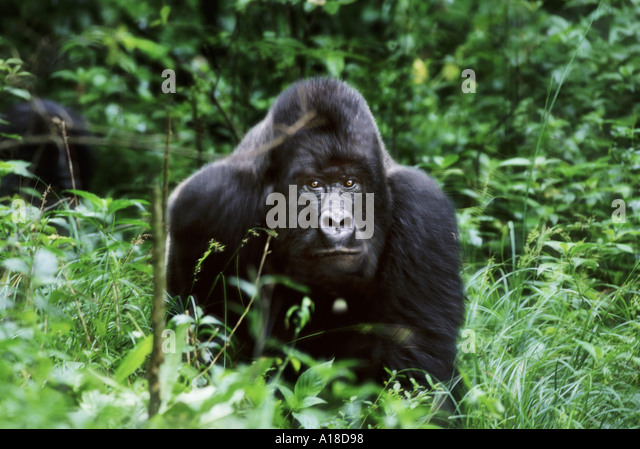 Male mountain gorilla Mgahinga National Park Uganda - Stock Image