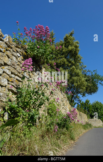 Red Valerian (Centranthus ruber) gowing in old stone wall, Dorset, UK. - Stock Image
