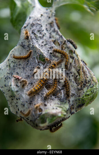 Caterpillars form a nest on a tree, deep in the forest near Glacier National Park, Montana. (Photo by Ami Vitale) - Stock Image